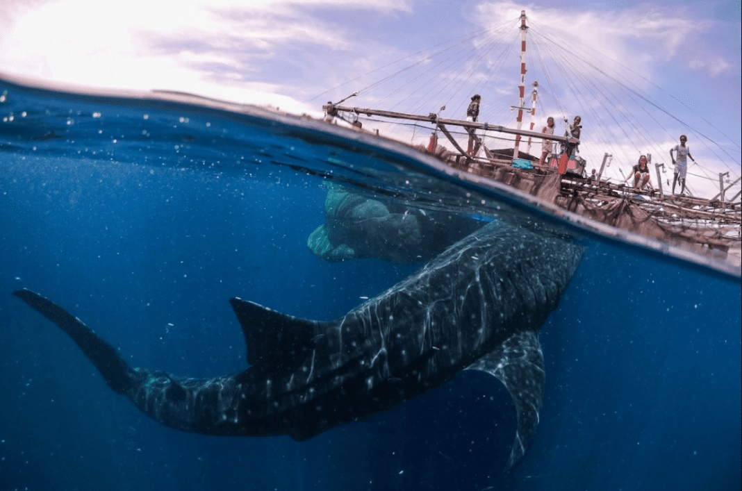 """""""Whale Shark Encounter in West Papua"""" by Marco Zaffignani. Teluk Cenderawasih National Park, Indonesia. Remarkable Artwork"""