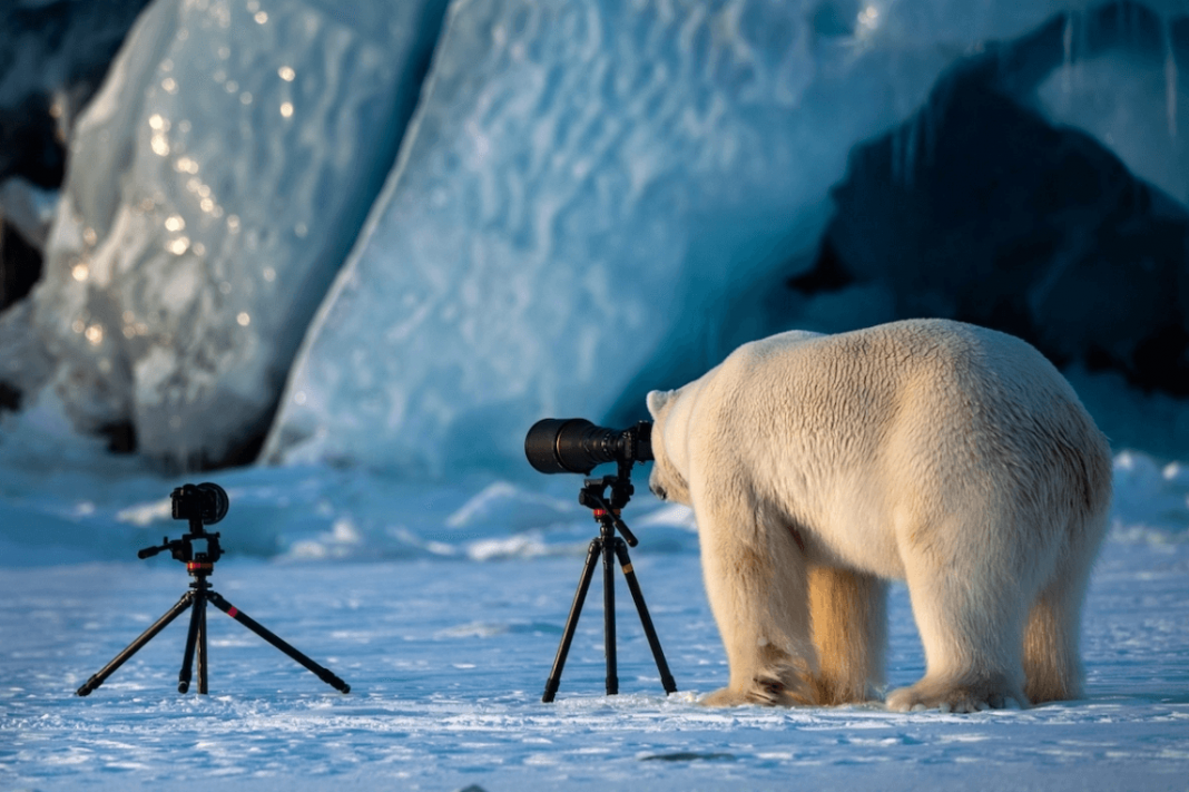 """""""Polar Bear Changing Careers"""" by Roie Galitz. Svalbard, Norway. Honorable Mention"""