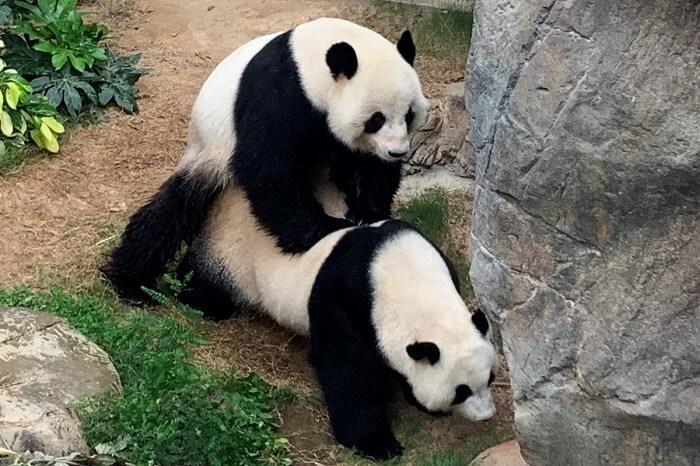 pandas Ying Ying and Le Le