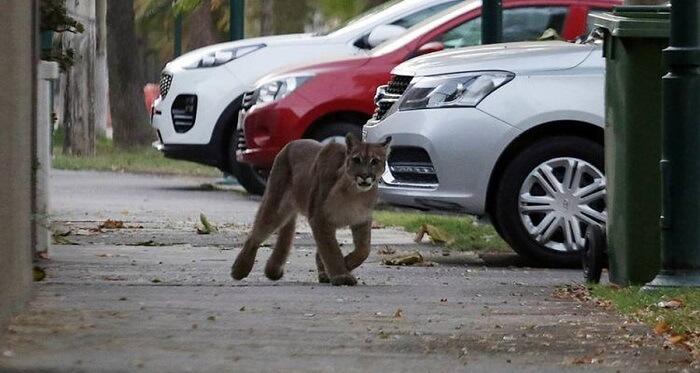 Pumas in Santiago