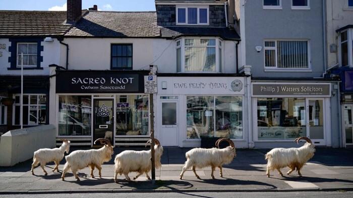Goats in Llandudno