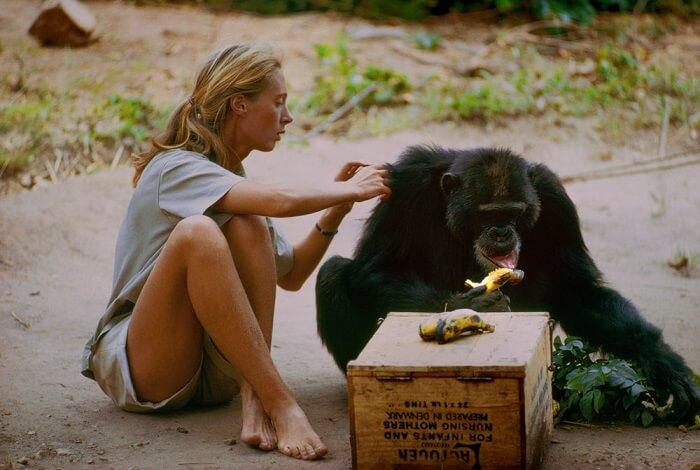 David Greybeard revealed chimpanzees' true intelligence