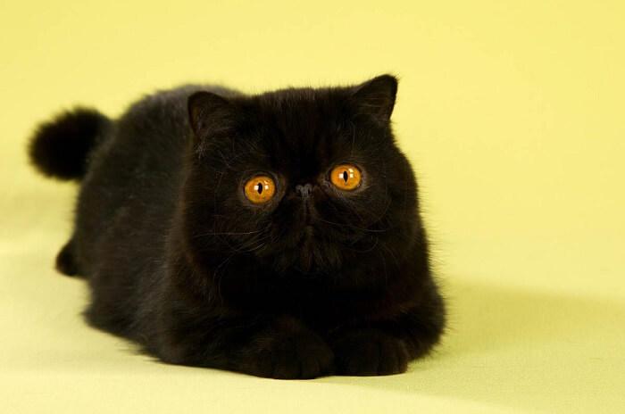 Best Black Cat Breeds