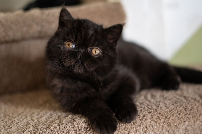 Persian Cats - Best Black Cat Breeds