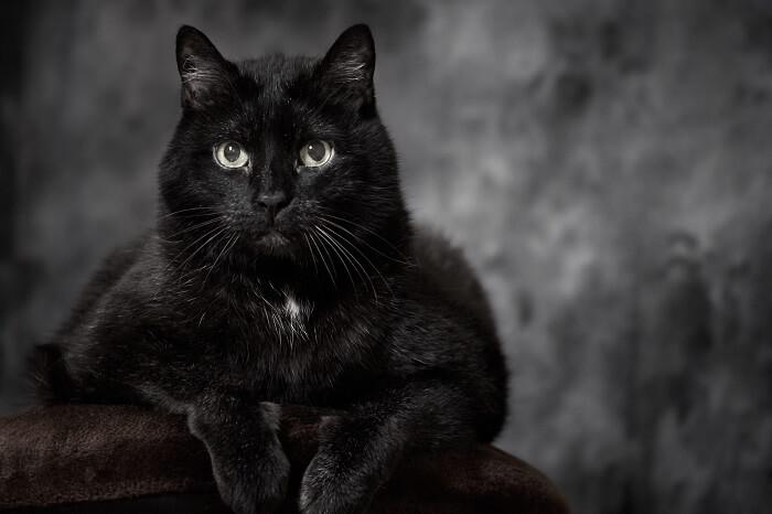 Turkish Angora - Best Black Cat Breeds