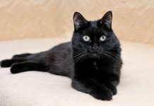 The Best Black Cat Breeds You'll Wish to Adopt