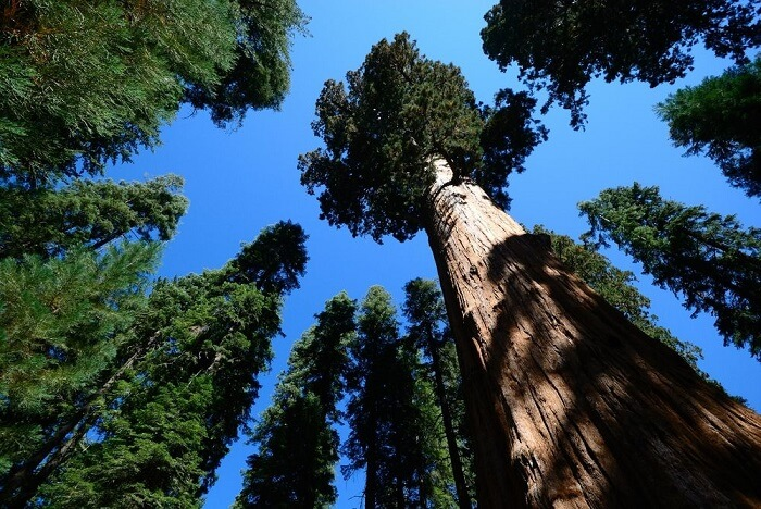 World's Tallest Tree - World Records Held by Plants