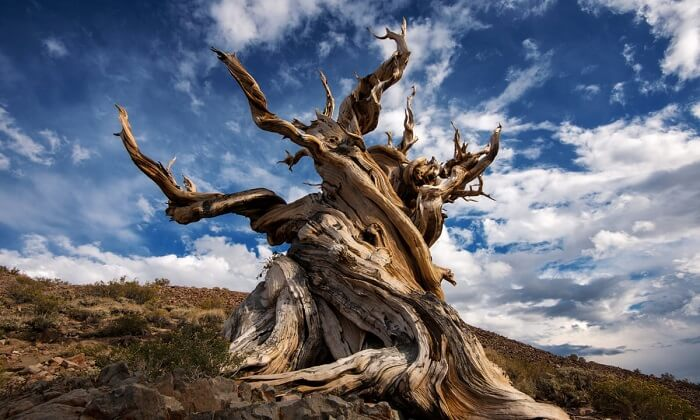 Oldest Tree